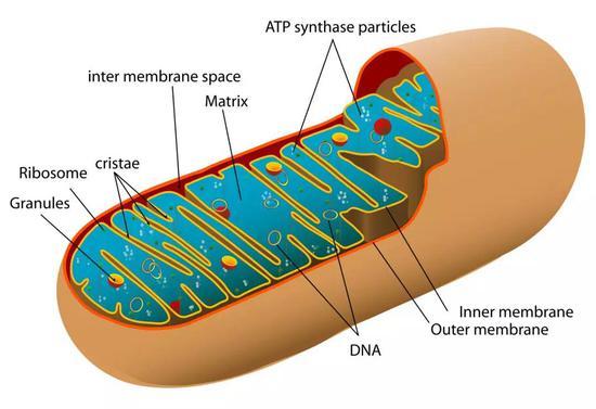 """▲线粒体是细胞内的""""发电厂"""",它也会影响到细胞的方方面面(图片来源:Mariana Ruiz Villarreal LadyofHats [Public domain])"""