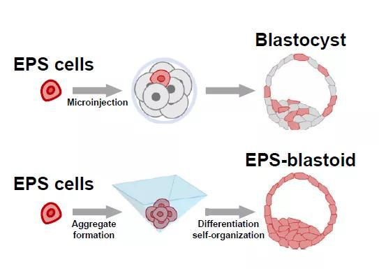 ▲EPS细胞可以发育成小鼠胚胎的多种细胞类型(上);在特殊的分化系统中,它也能形成类囊胚的结构(下)(图片来源:参考资料[1])