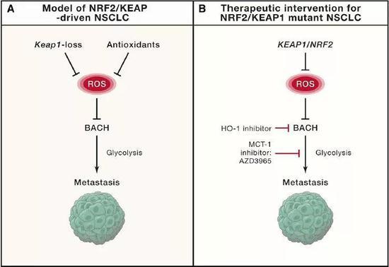 ▲一种叫Bach1的蛋白质是肺癌转移的关键分子(图片来源:参考资料[1])
