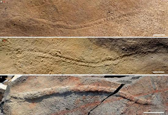 夷陵虫的实体化石,显示生物体已经有前、后的区分(图片来源:南京古生物所)