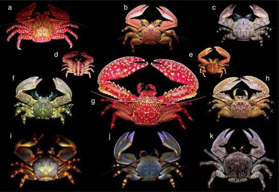 """异尾下现在中的""""螃蟹""""实际上来自亲缘相关较远的分别物栽,分别甲壳生物演化为螃蟹形式的形象被称为蟹化,图片中的""""螃蟹""""实际上是瓷蟹,它们和铠甲虾的亲缘相关更近,和帝王蟹的相关更远。图片来源:wikipedia"""
