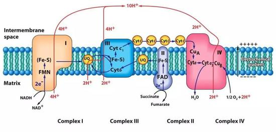 電子傳遞鏈是細胞的主要能量來源