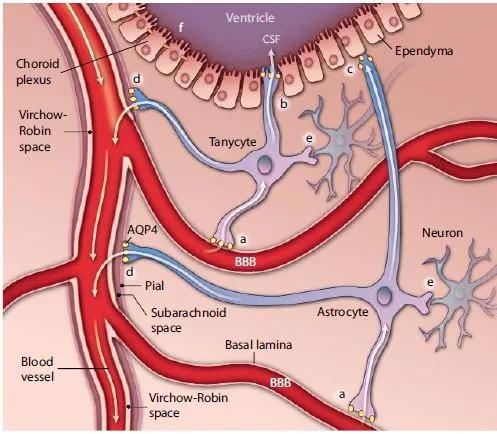 """▲伸展细胞(tanycyte)形态特殊,一些""""触手""""伸向脑脊液(CFS)感知营养信息,一些""""触手""""与神经元沟通信息(图片来源:参考资料[1])"""