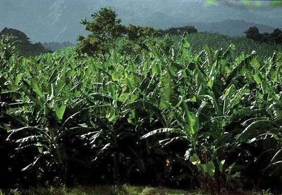 圖1 香蕉種植園(圖片來自參考資料6)