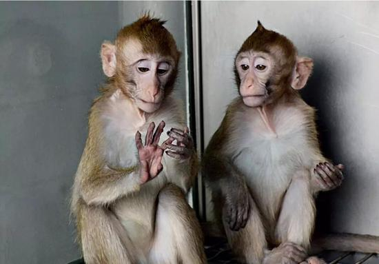 """体细胞克隆猴""""中中""""和""""华华""""平时生活状态(来源:中科院脑科学与智能技术不凡创新中间)"""