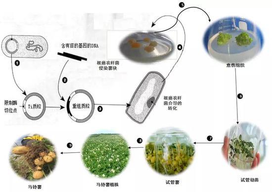 转基因马铃薯培养步骤:1。 获取Ti质粒;2。 获取主意基因;3。 构建重组质粒;4。 根癌农杆菌介导转化侵染薯块;5。 形成愈伤机关;6。 愈伤机关发芽成苗;7。 试管苗结薯;8。 结成的幼薯栽入大田无性滋生;9。 形成具有主意性状的马铃薯。(作者制图)
