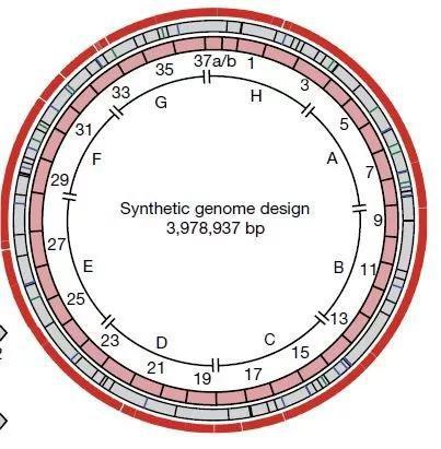 ▲整个基因组被分为37个片段,逐段被人工合成的DNA片段替换(图片来源:《自然》)
