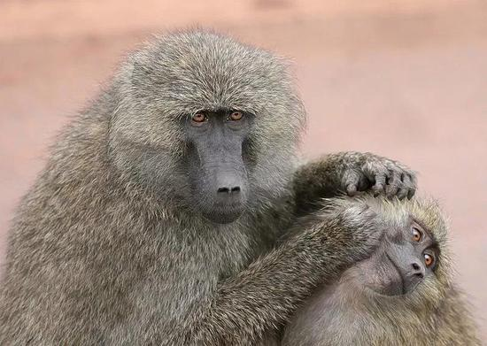 实验用的狒狒品种P.anubis。图片来源:Wikipedia