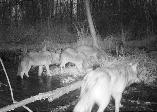 相机捕捉到的狼群,图片来源:chernobylguide.com