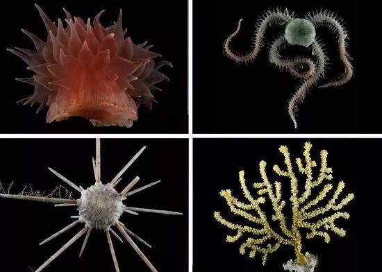 南印度洋大洋中脊附近的深海生物。从左上角起顺时针方向:海葵、蛇尾、棘柳珊瑚和石笔海胆。