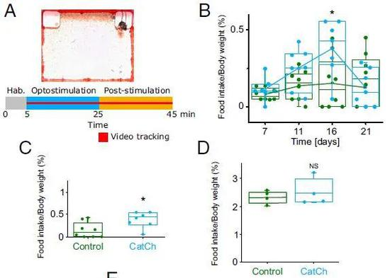 ▲小鼠实验显示,伸展细胞受刺激后,动物在短时间内胃口大开(图片来源:参考资料[1])