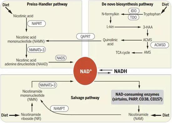 NAD+相关的代谢途径