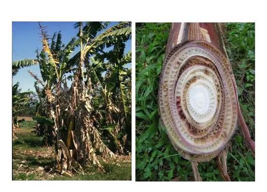 圖3 巴拿馬病的病癥:葉子變黃,萎蔫,莖干開裂。(圖片來自參考資料4)