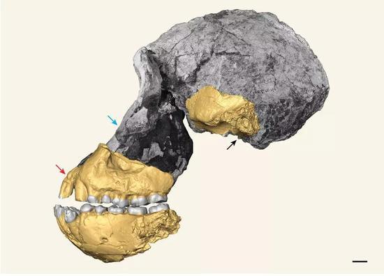 南方古猿湖畔种(MRD-VP-1/1)标本照片  黄色部分为重建部分,代表在这件标本发现之前,学术界所了解的湖畔种头骨材料,比例尺1cm(图片来源:论文截图)