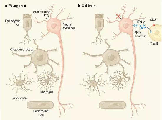 ▲衰老大脑内,神经干细胞旁边的T细胞释放干扰素γ(图片来源:参考资料[2])