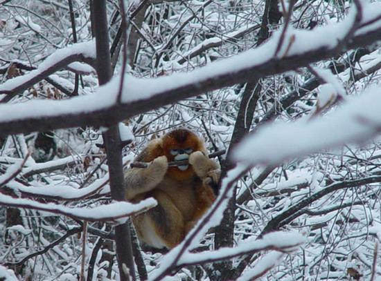 秦岭金丝猴是典型的森林树栖动物,资料照片,受访单位提供