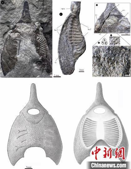 橄榄纹曲师鱼头甲化石照片及其复原图。郭肖聪 绘
