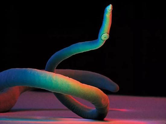 血吸虫(Schistosoma)图片来源:https://www.newscientist.com