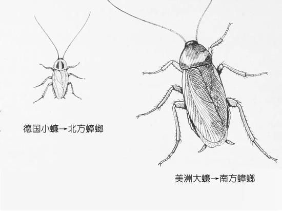 南北蟑螂差异   (图片来源:维基百科,有修改)