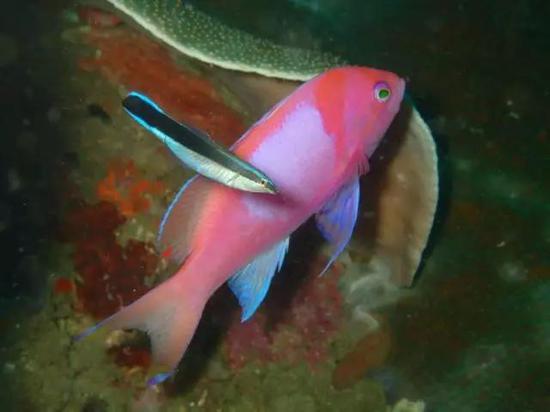 正在做清洁工作的裂唇鱼(图片来源:Klaus Stiefel / Creative Commons)