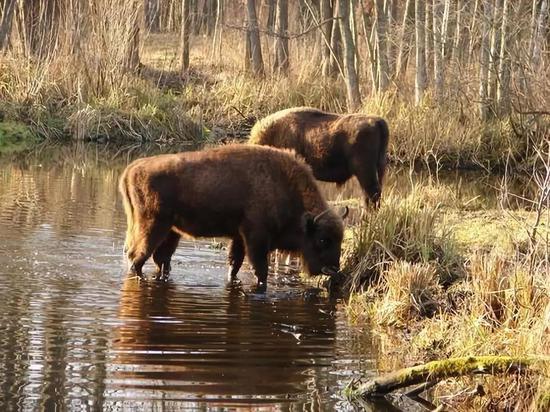 正在饮水的野牛,图片来源:www.usatoday.com