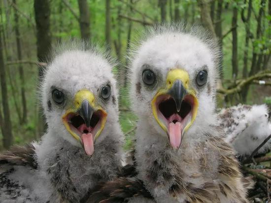 禁区内发现的乌雕雏鸟,图片来源:theguardian.com