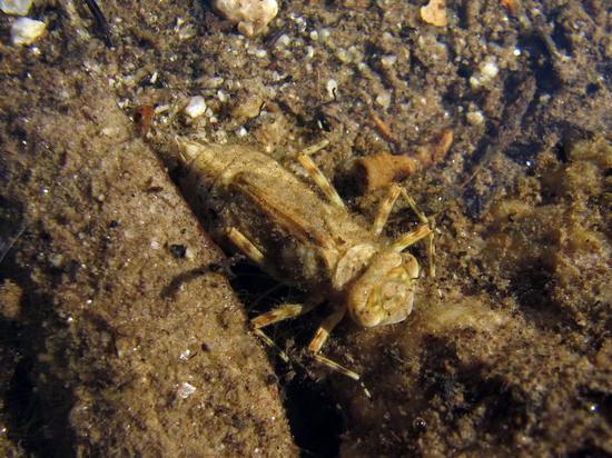 蜻蜓稚虫 (图片来源:foter.com)