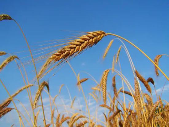 ○黑麦,最早的作物之一。| 图片来源:Wikipedia