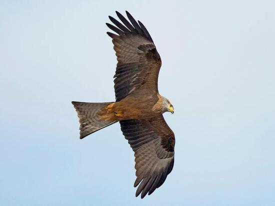 黑鸢。图片来源:©PMDE ESTEVES