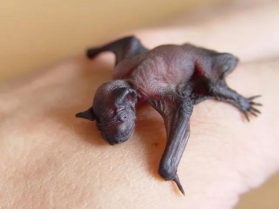 图片来源:wiki  蝙蝠幼仔