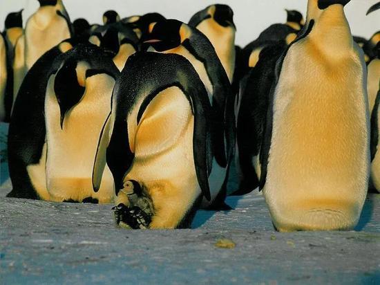 在雪地上抚育幼崽的帝企鹅。图片:EvaK / wikimedia