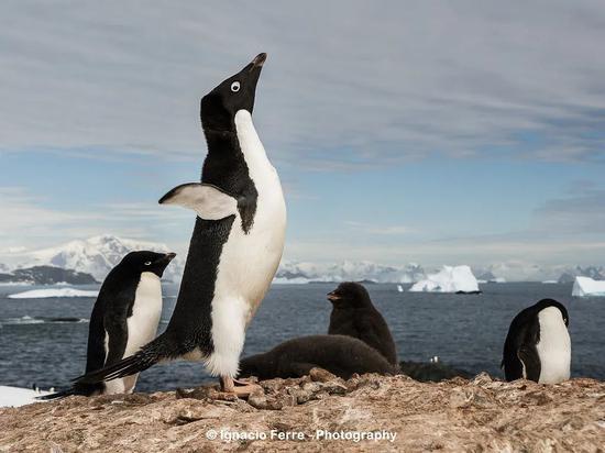 """谁看了不夸一句""""企鹅可爱""""呢。图片:Ignacio Ferre Pérez /flickr"""
