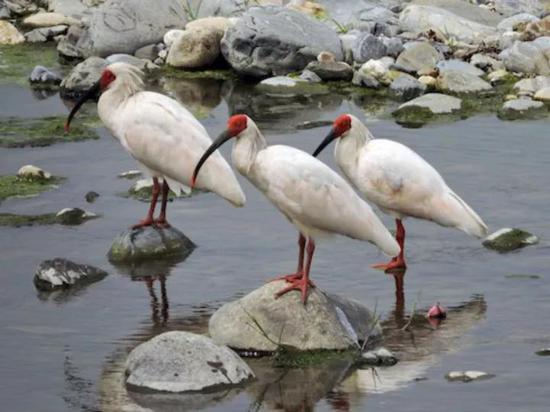 溪流中的朱鹮 图片来源:wikispecies