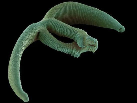 双身虫Eudiplozoon nipponicum |wikipedia