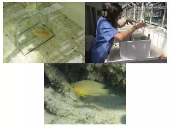 图片来源:Masters Student, Simona Colosio, tests the cognitive abilities of the Ambon Damselfish at Lizard Island Research Station in Australia