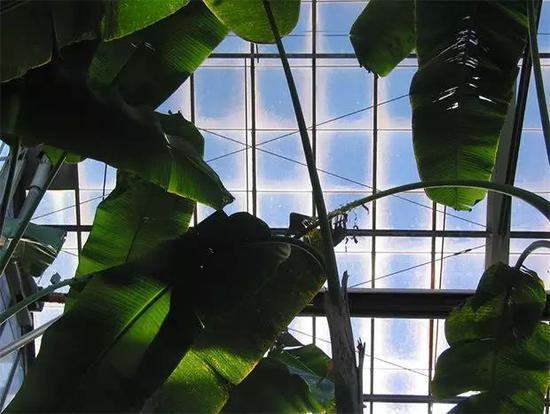 温室中的蕉叶(图片来源:Visualhunt.com)