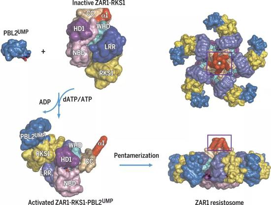 (图片来源:Reconstitution and structure of a plant NLR resistosome conferring immunity. Science 2019)