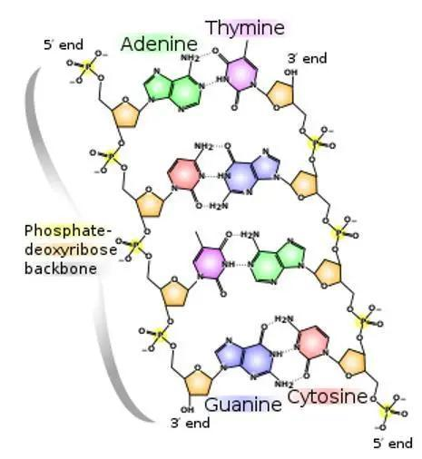脱氧核糖核酸(DNA)的化学分子结构。图源:Wikipedia