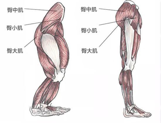 猿类(左)与人类(右)臀部肌肉对比图