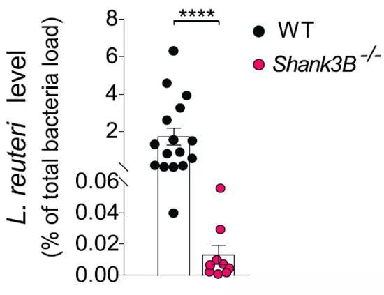 自闭症小鼠的肠道罗伊氏乳杆菌(右)水平显著低于正常水平(左)。图片来源:参考文献[1]