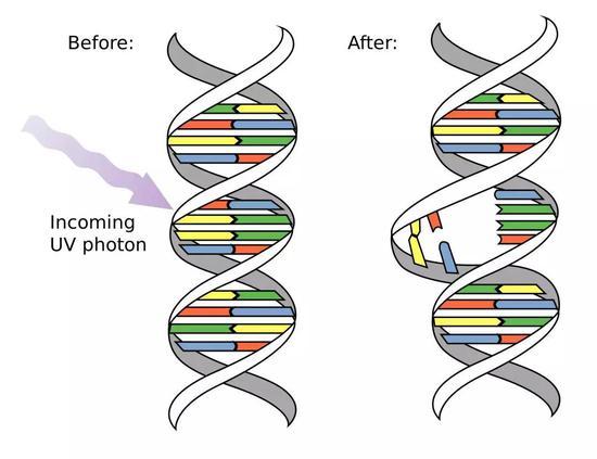 长时间UVA和UVB照射下,会造成DNA损伤(图片来源:Wikimedia)