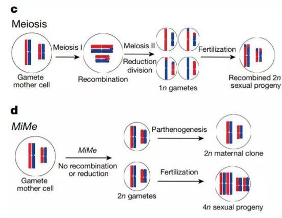 ▲钻研人员们跳过了减数破碎这一步,产生了具有完善基因组的卵细胞(图片来源:参考原料[1])