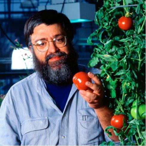 世界上第一个进行商业种植的转基因作物:Flavr Savr番茄,很难发现其与正常番茄的区别,图源ucanr.edu
