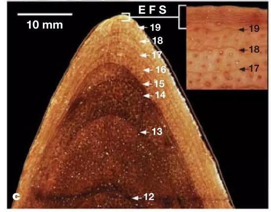 """雷克斯暴龙骨组织切片当中的""""生长标记"""",这种标记被称为""""生长停滞线""""。图上标的数字就是年龄。(图片来源:Erickson et al。, 2004)"""