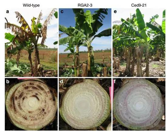 James Dale的转基因香蕉大田实验。A和B为华蕉原始种(标注为Wild-type),而RGA2-3及Ced9-21都是转基因后代,结果显示这两个转基因品系均获得了对TR4的显著抗性。(图片来自参考文献6)