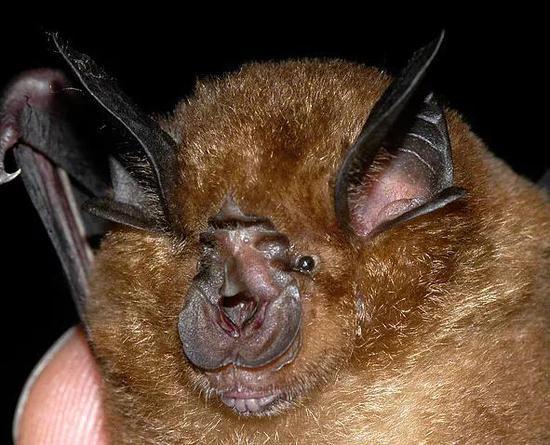 《蝙蝠:携带这么多致命病毒,竟是为了在天上飞》