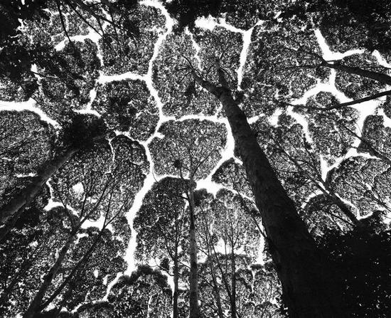 马来西亚的樟树在生长过程中会避免树冠重叠,因此从下往上看时,仿佛一幅拼图。