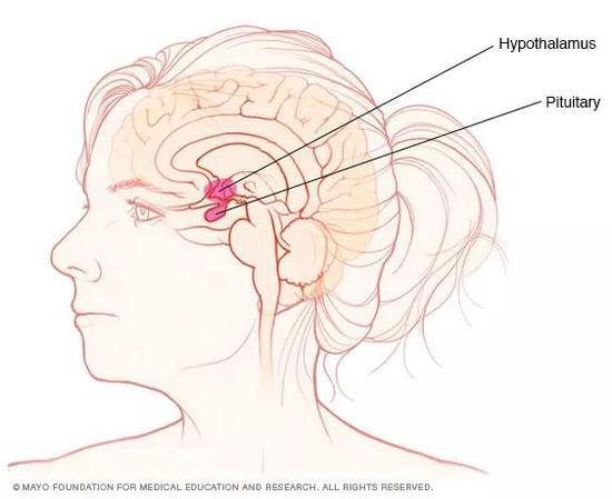 脑垂体(红色圆球)