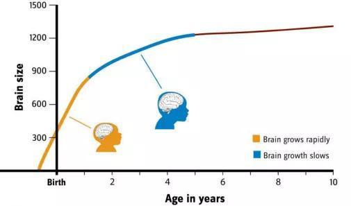人的大脑在出生前,从出生的第一年一直到童年时期发育迅速图源:https://humanorigins.si.edu/human-characteristics/brains