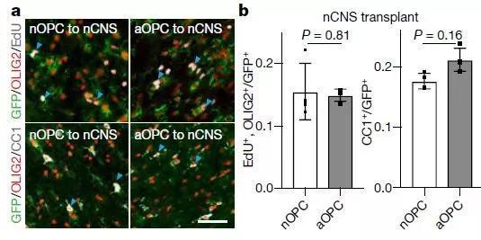 ▲把老年小鼠的OPC(aOPC)移植到新生小鼠的腦中(nCNS),細胞的增殖和分化能力恢復(圖片來源:參考資料[1])